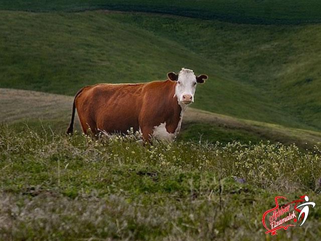 البقرة إيفون تصدم الالمان وتتنبأ بفوز البرتغال